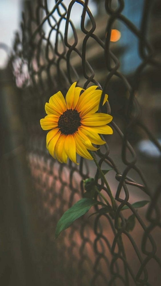 Photography Aesthetic Sunflower And Indie Image 6077213 On Favim Com