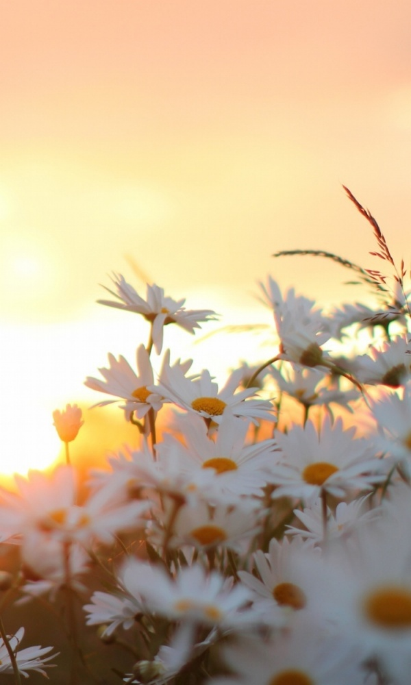 nature, white flowers background, flower and white flowers