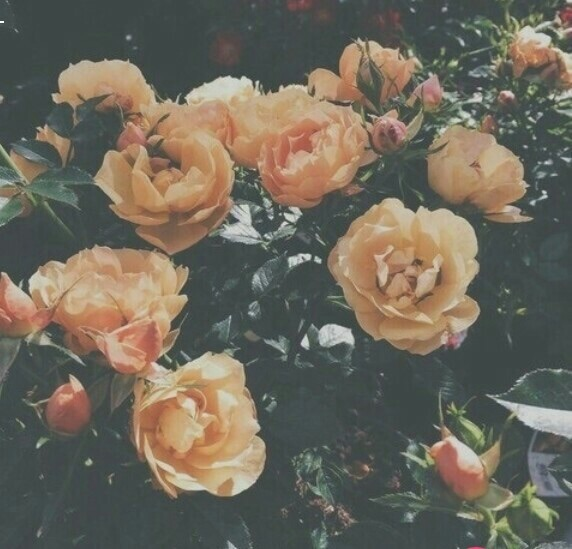 garden, aesthetic, rose and roses