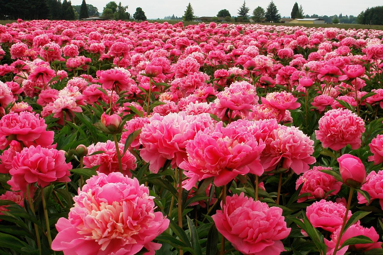 background, flowers, nature and pink flower field