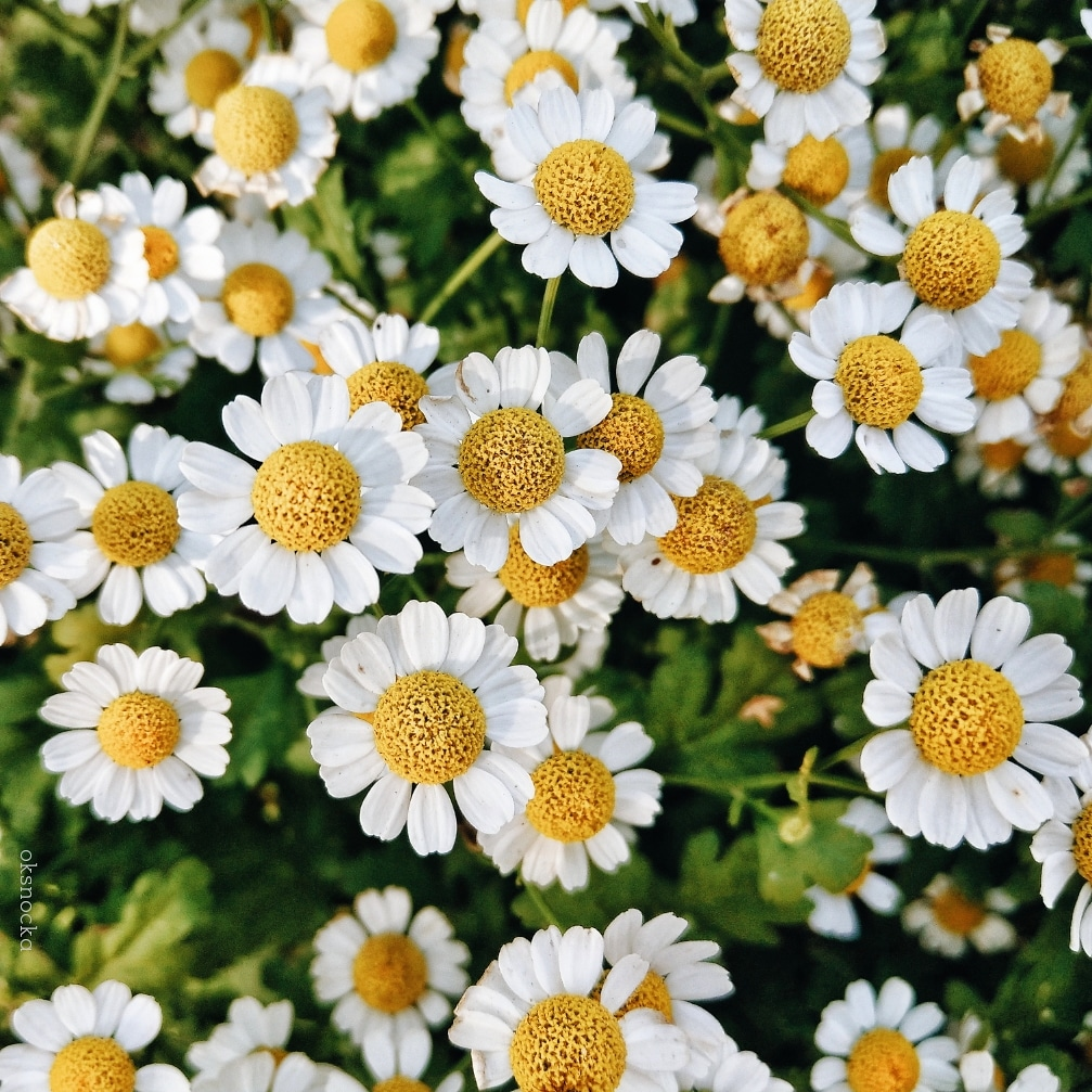 nature, flowers and chamomile