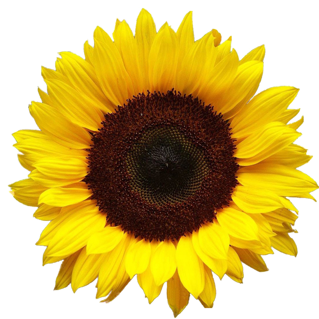 sunflower, flower, png and overlay