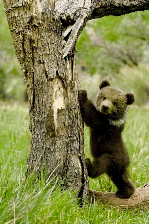 brown bear, wild animal, bear and grizzly
