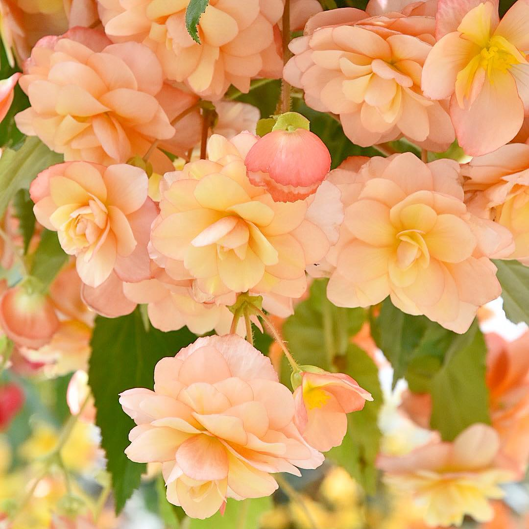 flowers, peach, old english roses and roses