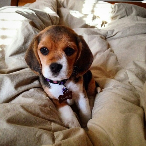 dogs, beagle, cute and dog