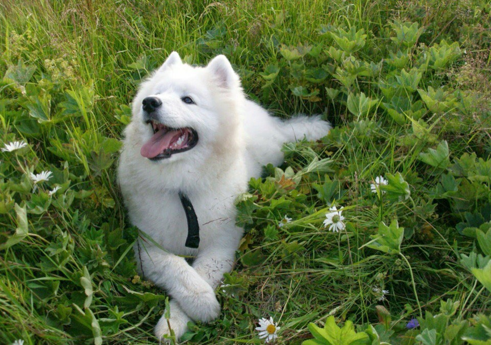 colors, dog, samoed and smile