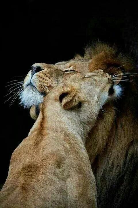 fight for animal rights, be their voice, mated lions and lions are not trophys