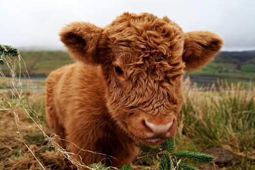 cow, baby cow, cute and baby animal