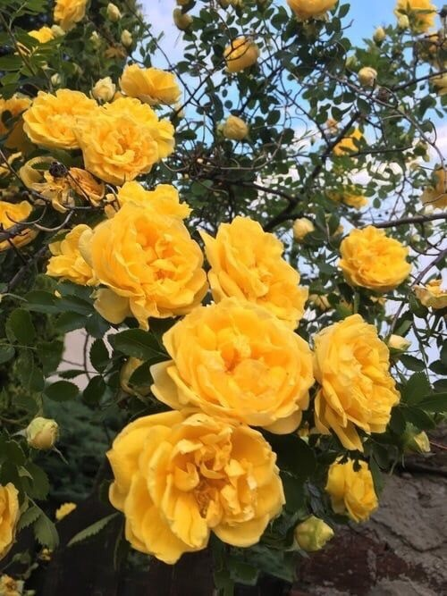 yellow flowers, rose, flowers and roses