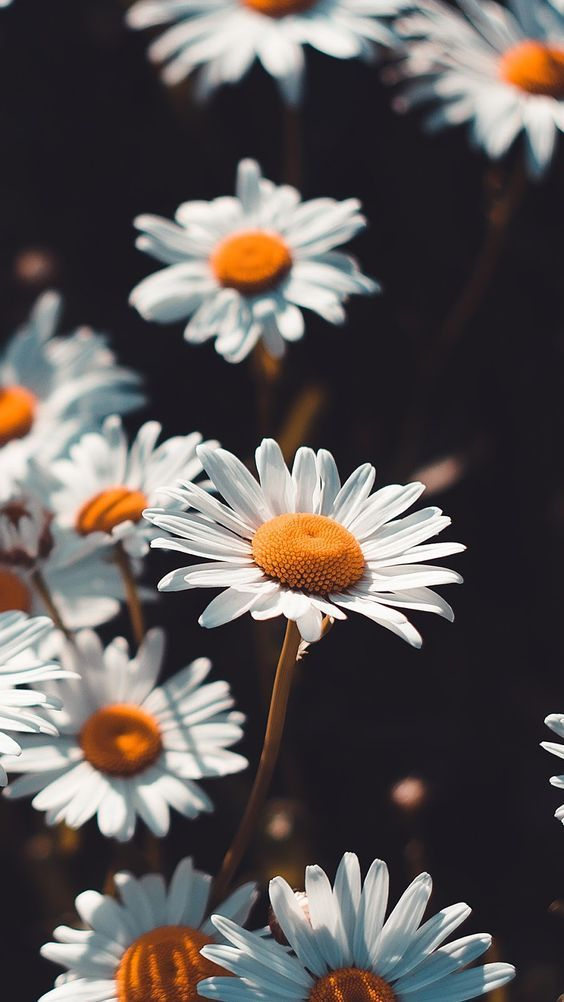 margaritas, daisy, spring and nature