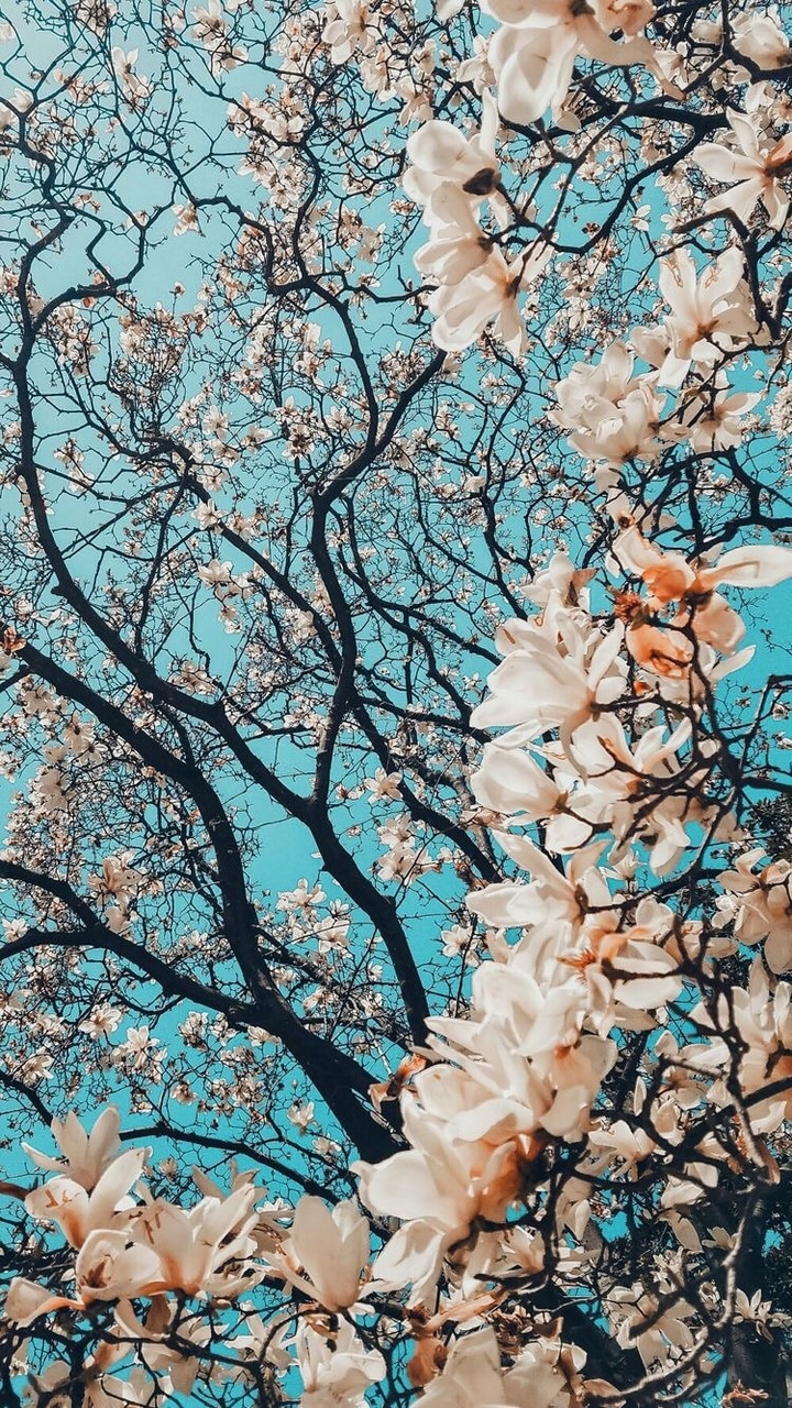 Iphone Cherry Blossom Wallpaper And Nature Image 7090315 On Favim Com