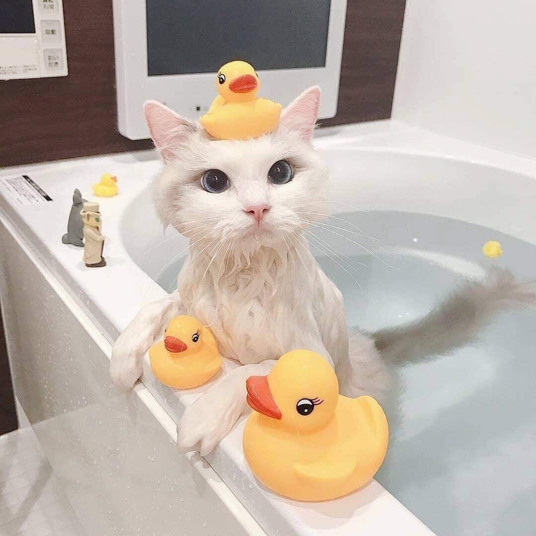 gato, adoptdontbuy, ducks and cats